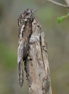 Common Potoo. Potoos (family Nyctibiidae) are a group of birds related to the nightjars and frogmouths. There are seven species and are found in tropical Central and South America.    These are nocturnal insectivores. During the day they perch upright on tree stumps, camouflaged to look like part of the stump.