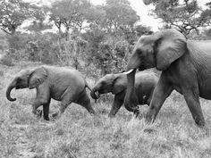 #elephant #sabisands #Kruger #krugernationalpark #africa #southafrica #safari #animallovers #animal #selva #selvage #jicelipospieka @pospieka