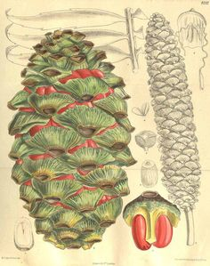 6962 Encephalartos barteri Carruth. ex Miq. / Curtis's Botanical Magazine, vol. 135 [ser. 4, vol. 5]: t. 8232 (1909) [M. Smith]