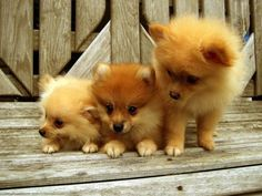 Pomeranian cuties