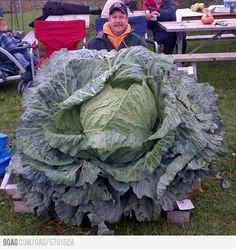 The Guinness World Record for the heaviest Cabbage weighed and was presented at the Alaska State Fair by Steven Hubacek Best Pictures Ever, Cool Pictures, Cool Photos, Random Pictures, Amazing Photos, Funny Photos, Beautiful Pictures, Cabbage Seeds, Paraiso Natural