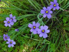 Perennial blue eyed grass wildflower is a member of the Iris family, but it is not a grass at all. It forms clumps of slender long foliage topped in spring with small periwinkle flowers. Learn how to grow it in this article.