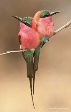 And Animals: Beautiful Carmine bee eater Birds Pretty Birds, Love Birds, Beautiful Birds, Animals Beautiful, Pretty Animals, Beautiful Images, Beautiful Things, Weird Birds, Animals Amazing