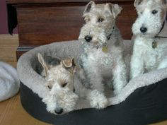 Wire Fox Terriers ~ Boots, my first dog, was a wire-haired fox terrier.
