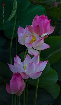 Beautiful blooms of Lotus Flower! Exotic Flowers, Amazing Flowers, My Flower, Pink Flowers, Beautiful Flowers, Water Flowers, Flower Pictures, Planting Flowers, Floral