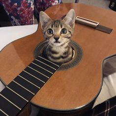 Turn around to pick up some wire-cutters and... . . . . . #guitar #guitarist #music #musician #bengalcat #kittensofinstagram…