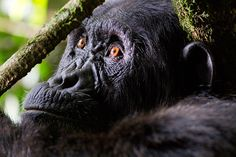Where to hang out with Uganda's chimpanzees