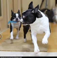 Boston Terriers Playing