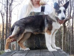 Panda Shepherd puppy - this is an actual thing, it was a mutation that they are trying to stabilize, it's NOT the same as white, as the white masks all colors