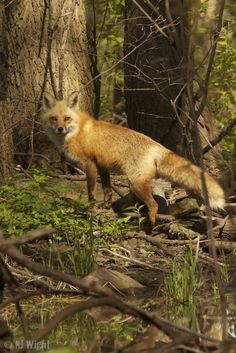 Please continue for The Ghosts In Our Machine: Raising Consciousness for Non-human Animals. to find out more about an extraordinary new Canadian documentary near and dear to me. Animals Beautiful, Cute Animals, Fox Hunting, Wild Creatures, Wild Dogs, Sleeping Dogs, Mo S, Red Fox, Animal Photography