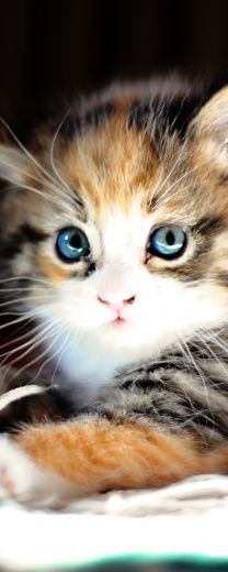 beautiful  -- wish more kitties had blue eyes as adults... so sweet & calico cats are the *best*