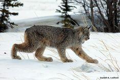 Canada Lynx by Critter Seeker, via Flickr
