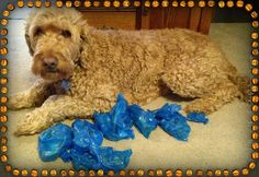 Goldendoodle handing out trick or treat bags to his K9 friends! Greenies and Poop Bag what more could a dog ask for! :)