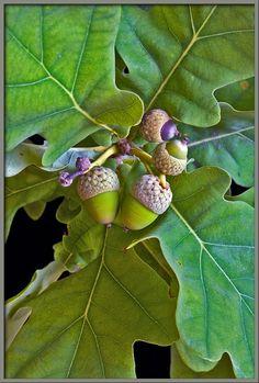 English oak leaves and acorns