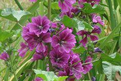 Malva sylvestris subsp. mauritiana 'Bibor Felho'