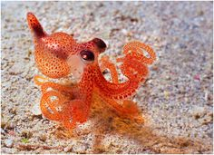 LOOK AT THE LITTLE OCTOPUS LOOK AT HIS BULGY EYES AND THE TINY TENTACLES DON'T YOU JUST WANT TO PUT A LITTLE LEASH ON HIM AND TAKE HIM FOR A WALK IN A PUDDLE
