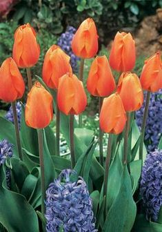 Lighting Sun Bulbs | Tulips Bulbs Lighting Sun | Buy Tulips Flower Bulbs Online | Bloms Bulbs UK An Award Winning Supplier Bulb Flowers, Tulips Flowers, Orange Flowers, Daffodils, Crocus Bulbs, Tulip Bulbs, Beautiful Roses, Garden Projects, Garden Inspiration