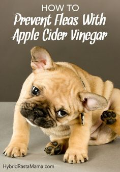 Flea season is here! If you are wondering how to prevent fleas naturally, Hybrid Rasta Mama shares her secret weapon. Learn how to prevent fleas with apple cider vinegar. It is a cheap and effective flea control method that has worked year after year. #fleas #naturalfleacontrol #preventfleas #naturalpetcare