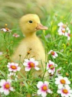 Precious duckling