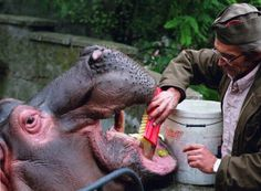 Scrub-a-dub-dub: A Warsaw zookeeper gives Gucio, the zoo's male hippopotamus, a much-needed tooth scrub. Although the 40kg daily food intake of a hippo consists largely of apples, he needs regular teeth brushing to prevent plaque build-up.