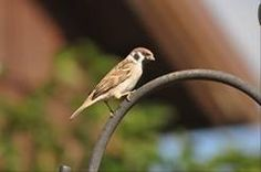 The Eurasian tree sparrow are local and uncommon. In North America, they are found in only three places: eastern Missouri, southeastern Iowa and west-central Illinois.