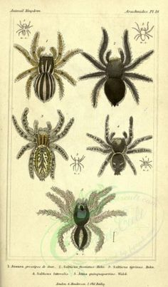 3 (Plates) - The animal kingdom, arranged according to its organization, serving as a foundation for the natural history of animals : - Biodiversity Heritage Library Vintage Wall Art, Vintage Paper, Dracula, Bat Images, Spider Pictures, Printable Fabric, Spider Art, Old Book Pages, Art Clipart