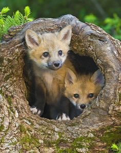 Photograph of Fox Kits for sale