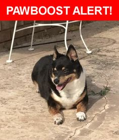 Is this your lost pet? Found in Oklahoma City, OK 73132. Please spread the word so we can find the owner!  Possibly a corgi mix, multi colored mostly black  Near NW 89th St & N Council Rd