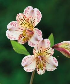 How to plant and grow alstroemeria