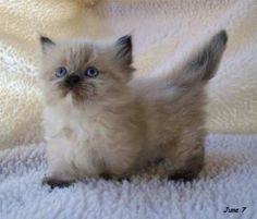 Munchkin kitten~