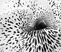 black and white flower.  Fly aerial inspiration for aerial yoga-pilates-fitness-art therapy-coaching (aeroyoga/aeropilates/conceptual fitness) www.aerialyoga.tv