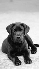 Beautiful just like our Sophie!!  We love her so much, she is the baby girl of our first Chocolate lab, he died before she was born.