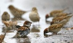 Vits, Belarus: Sparrows wash themselves