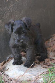 Schnauzer puppy…Very cute!
