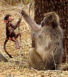 Chacma baboon--mother and baby. Kruger Park, South Africa. Loot Eksteen.