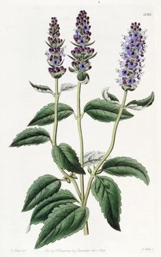 Lophanthus,anisatus, Anise-scented Lophanthus.L'Anice menta (Agastache anethiodora,Agastache foeniculum (blue giant hyssop; syn. commonly called anise hyssop, blue giant hyssop, Fragrant giant hyssop, or the lavender giant hyssop, is a species of perennial plant in the mint family, (Lamiaceae).   - Lophanthus is a genus of plants in the Lamiaceae family, first described in 1763. Edwards's botanical register. - Biodiversity Heritage Library.