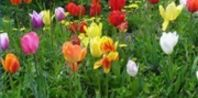 how to transplant spring bulbs