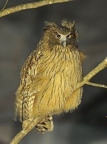 Blakiston`s fish owl, an eagle-owl. One of the largest owls at up to 10lbs. Japan, Asia, Russia. Endangered.