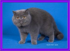 I would love to cuddle w/ this Exotic Shorthair Cat