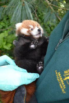 Red panda babby