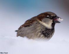 Photographie de Marc Fasol : Moineau domestique (Passer domesticus) mangeant de la neige en Finlande en février 2018.