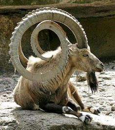"Ibex. (""WOW."") Google search: ""The Alpine Ibex, also known as the Steinbock or Bouquetin, is a species of wild goat that lives in the mountains of the European Alps. It is a sexually dimorphic species with larger males who carry larger, curved horns. Wikipedia."""