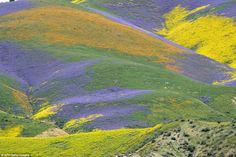 The Carrizo Plain National Monument, one of the largest native grasslands that remain in the state, has sprouted lupines, goldfields, cream cups, delphinium, blue dicks and poppies