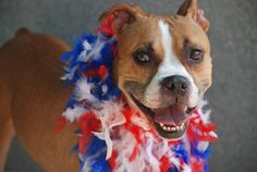 TO BE DESTROYED ON 7/2/14  Brooklyn Center -P   My name is TAMMY. My Animal ID # is A1004397.  I am a female brown and white am pit bull ter mix. About 2 YEARS old.  STRAY on 06/24/2014 Volunteers says:  Did really well on her intake: Pulled on leash, but was sociable- soft body, low wag. She was calm and relaxed during handling. Friendly. Caring. Fine w/ other dogs. GREAT BEHAVIOR EXAM!!! At 2 yrs. old, she's open to new guidance  training! Would fit in almost any home!
