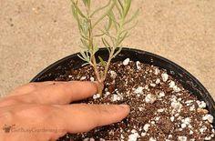 Gently press soil around lavender cutting