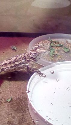 How to Teach a Bearded Dragon to Drink from a Water Bowl: 3 Steps