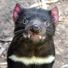 It's the depths of night when some of our favourite furry friends come out to play. Animals And Pets, Funny Animals, Cute Animals, Tasmanian Devil, Creatures Of The Night, Australian Animals, Funny Animal Pictures, Animal Photography, Pet Birds