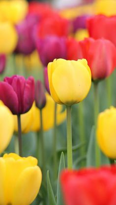 Colorful-Tulips