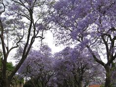 Jacarandas in bloom - Drive down any tree-lined Johannesburg str in spring & you're likely to see one of the city's most fascinating wonders in full bloom. The Jacarandas, adorned in a brilliant shade of purple, are certainly a welcome sight in the wake of the cold, dry winter. Photo by Jeppestown on Flickr.