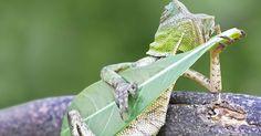 Dragon Lizard Caught Playing Leaf Guitar In Indonesia   Bored Panda